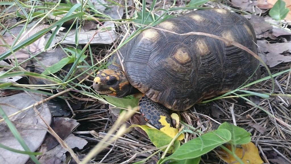 Första landsköldpaddan vi såg. Snubblade nästan bokstavligen över den.