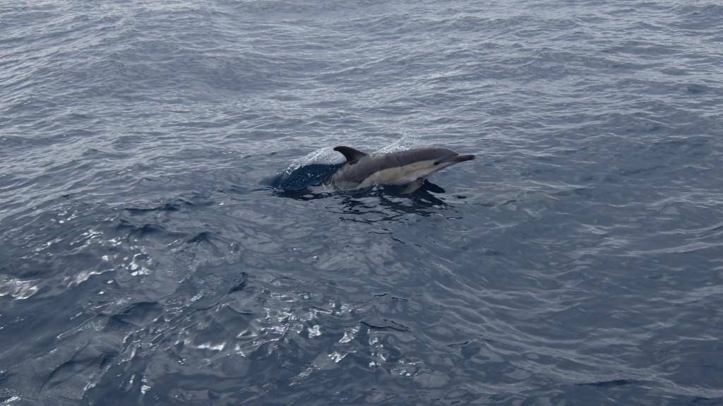 Sällskap av common dolphin.